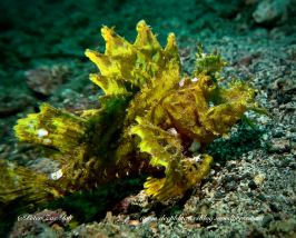 The scientific name of the Weedy Scorpionfish is Rhinopias frondosa.
